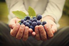 Colheita das uvas Imagem de Stock Royalty Free