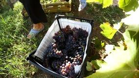 Colheita das uvas Lapso de tempo vídeos de arquivo