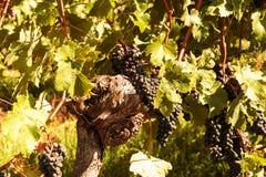 Colheita das uvas para vinho Foto de Stock Royalty Free