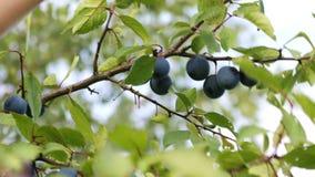 A colheita de ameixas maduras vídeos de arquivo