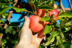 Colheita de Apple Imagens de Stock Royalty Free