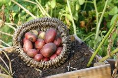 Colheita de batatas vermelhas da pirâmide Fotografia de Stock Royalty Free