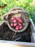 Colheita de batatas vermelhas da pirâmide Imagens de Stock