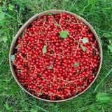 A colheita de corintos vermelhos em uma peneira Imagem de Stock