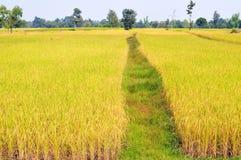 Colheita de espera de brilho do campo dourado do arroz imagens de stock
