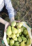 Colheita de grandes peras suculentas verdes no outono adiantado Imagem de Stock