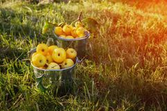 A colheita de maçãs amarelas pequenas em duas cubetas no gramado sob a luz solar na queda Copie o espaço Imagens de Stock