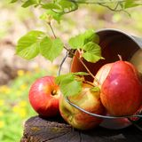Colheita de maçãs e de peras vermelhas suculentas maduras em uma cubeta em um coto no jardim em um fundo verde-amarelo ensolarado Foto de Stock