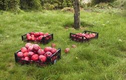 A colheita de maçãs maduras vermelhas é recolhida em cestas plásticas imagens de stock royalty free