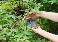 Colheita de madressilva maduras em uma caneca de vidro Imagens de Stock Royalty Free