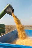 Colheita de milho Imagens de Stock