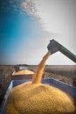 Colheita de milho Imagem de Stock Royalty Free