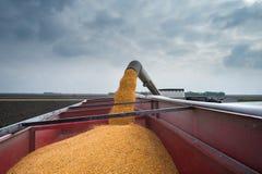 Colheita de milho Imagem de Stock