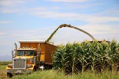 Colheita de milho Foto de Stock