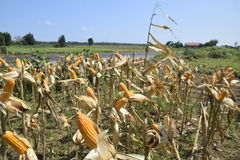 Colheita de milho Imagens de Stock Royalty Free