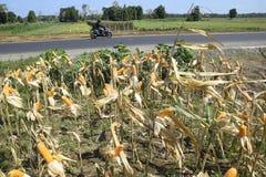 Colheita de milho Fotos de Stock