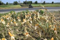 Colheita de milho Foto de Stock Royalty Free