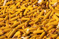 Colheita de milho amarela Foto de Stock Royalty Free