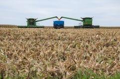 Colheita de milho do campo imagem de stock