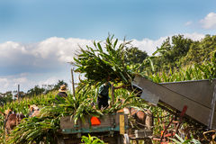 Colheita de milho dos fazendeiros de Amish foto de stock