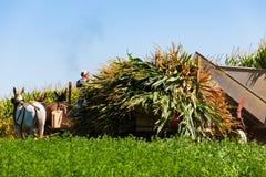 Colheita de milho por Amish fotos de stock royalty free