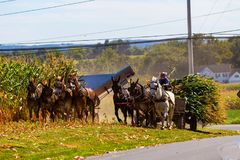 Colheita de milho por fazendeiros de Amish foto de stock royalty free