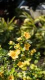 Colheita de planta do girassol em um jardim Imagem de Stock Royalty Free