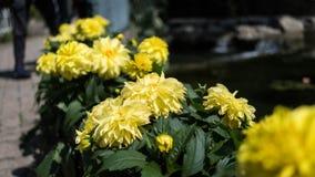 Colheita de planta do girassol em um jardim Fotografia de Stock Royalty Free