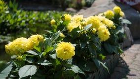 Colheita de planta do girassol em um jardim Fotos de Stock Royalty Free
