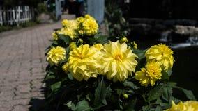 Colheita de planta do girassol em um jardim Foto de Stock Royalty Free