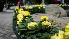 Colheita de planta do girassol em um jardim Imagens de Stock Royalty Free