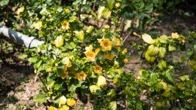 Colheita de planta do girassol em um jardim Fotografia de Stock