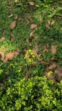 Colheita de planta do girassol em um jardim Imagens de Stock
