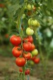 Colheita de tomate imagem de stock royalty free