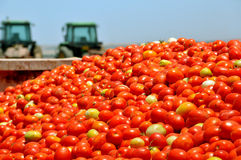 Colheita de tomate Fotografia de Stock