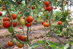 Colheita de tomate foto de stock