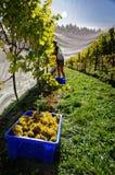 Colheita de uva do trabalhador do vinhedo, Marlborough, Nova Zelândia imagens de stock