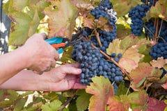 Colheita de uva em um vinhedo Fotografia de Stock