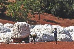 A colheita do algodão Imagens de Stock