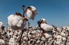 Colheita do algodão Imagens de Stock