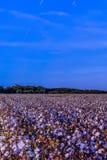 Colheita do algodão pronta para a colheita imagem de stock