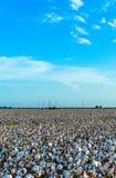 Colheita do algodão pronta para a colheita fotografia de stock