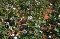 Colheita do algodão Imagem de Stock