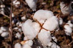Colheita do algodão Fotos de Stock