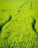 Colheita do arroz Fotografia de Stock Royalty Free