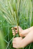 Colheita do arroz imagem de stock