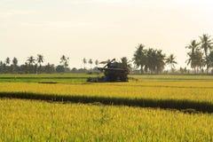 Colheita do arroz Foto de Stock