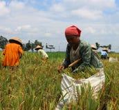 Colheita do arroz Fotografia de Stock