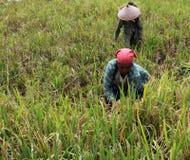 Colheita do arroz Imagens de Stock