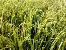 A colheita do arroz Imagens de Stock Royalty Free